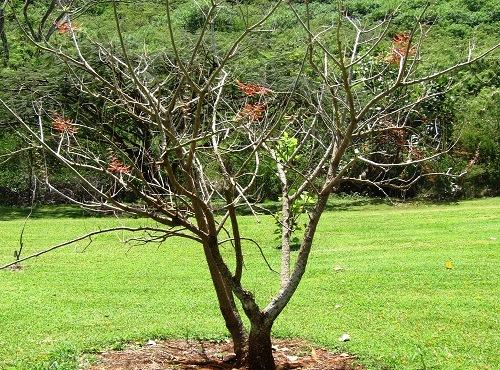 Árbol de pito