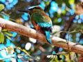 Torogoz, el ave nacional de El Salvador