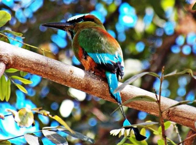 Torogoz, el pájaro nacional de El Salvador