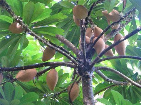 Zapotes en el árbol