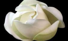 La flor de amate (leyenda)