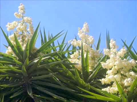 Flor de izote, flor nacional de El Salvador
