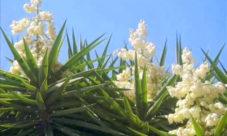 Información sobre la flor de izote
