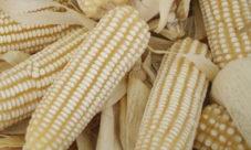 Cultivo de maíz en El Salvador