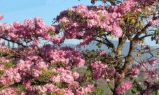 Árbol nacional de El Salvador