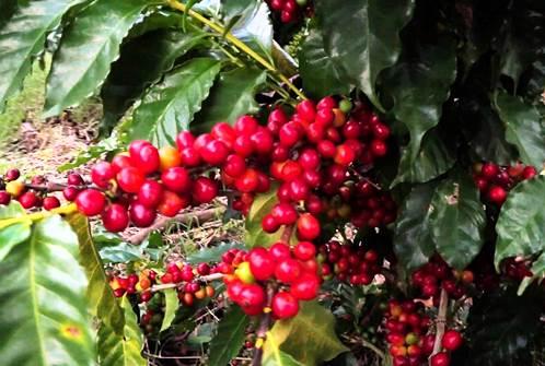 ¿Dónde se cultiva café en El Salvador?