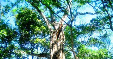 El Bálsamo, el otro árbol nacional de El Salvador