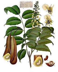 Hojas, flores y fruto del bálsamo