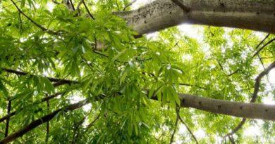 El árbol de ceiba