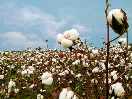 Historia del cultivo del algodón en El Salvador