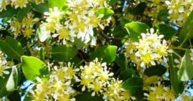 Plantas medicinales de El Salvador