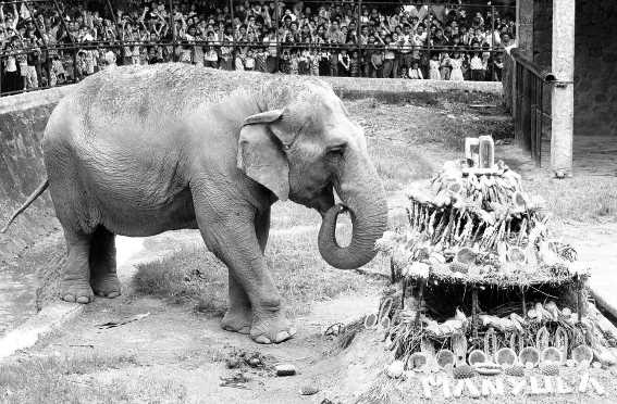 Historia de la elefanta Manyula