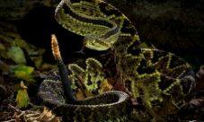 Serpientes comunes de El Salvador (venenosas y no venenosas)